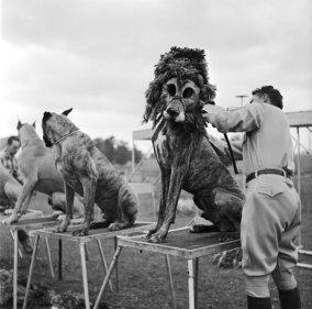 Ο εκπαιδευτής ζώων Robert Baudy έντυνε τα σκυλιά μπόξερ ως λιοντάρια.Οι ειδικές μάσκες που φόραγε στα σκυλιά,τον έσωζαν από τον κίνδυνο να εργαστεί με πραγματικά λιοντάρια,αλλά κέρδιζε και παραπάνω χρήματα αφού είχε μειωμένα έξοδα.Το κοινό έδειχνε να ενθουσιάζεται όπως και με τα πραγματικά λιοντάρια.(1956,φωτογραφία από τον Don)