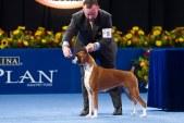 boxer-dog-show-1040kk