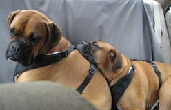 boxer-seat-belt