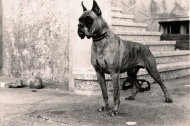 old-vintage-boxer-dog-hd-wallpapers-widescreen-free-download