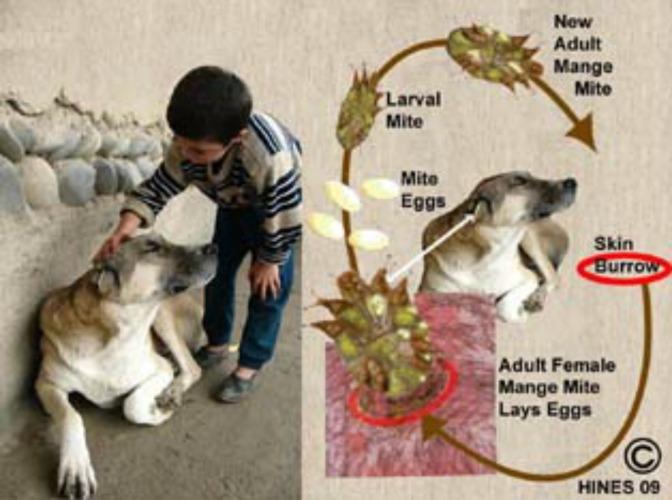 Σαρκοκοπτική Ψώρα του σκύλου