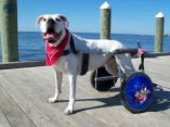 eddieswheels.com/pure-bred-dogs-are-prone-to-disabling-genetic-diseases/