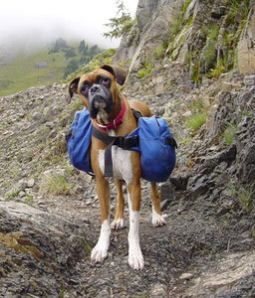 hiking-boxer-dog1