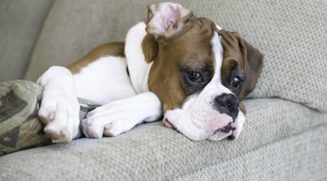 Η ψευδοκύηση στο σκύλο