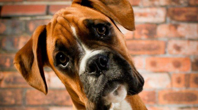 Κερατοειδούς ασθένεια (κληρονομική) σε σκύλους