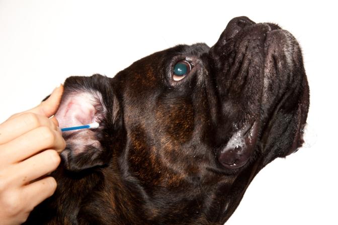 Ο καθαρισμός των αυτιών του σκύλου