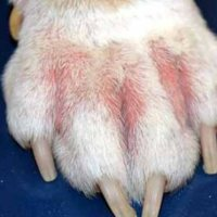 Συμπτώματα κατιντίασης σε σκύλους