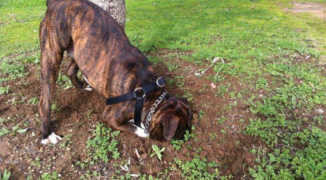 Γιατί τα σκυλιά σκάβουν,τι μπορείτε να κάνετε γι'αυτό