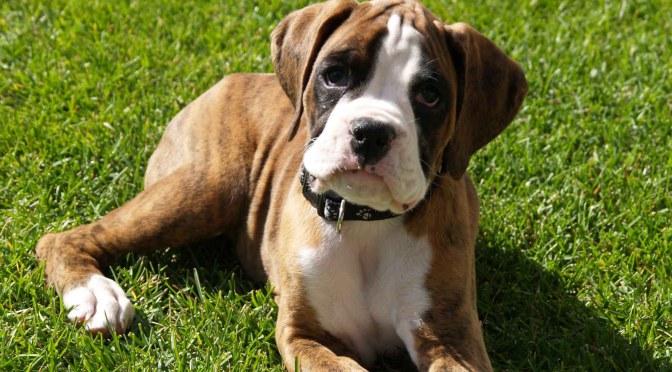 Δηλητηρίαση σκύλου από αιθυλενογλυκόλη