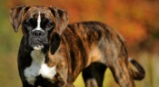 brindle-dog-breeds_1420180043