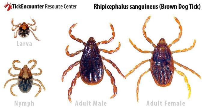 Τσιμπούρια και Νόσος του Lyme (λάιμ) στα σκυλιά