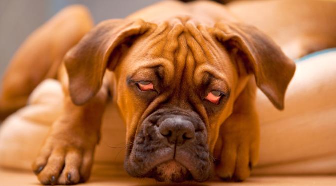 Λήθαργος στους σκύλους