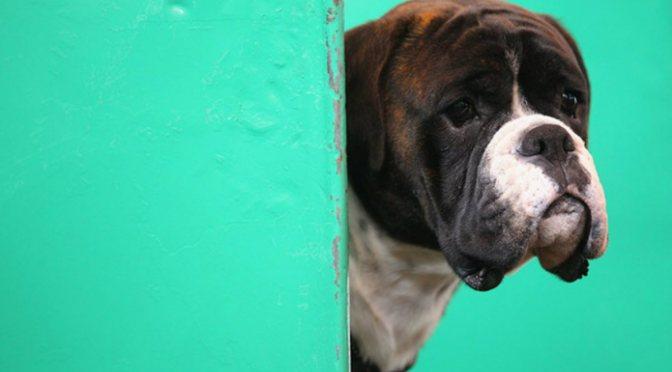 Εκκένωση της ακροποσθίας στους σκύλους