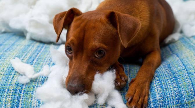 Αλλοτριοφαγία στα σκυλιά