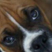 Βαλανοποσθίτιδα στα σκυλιά