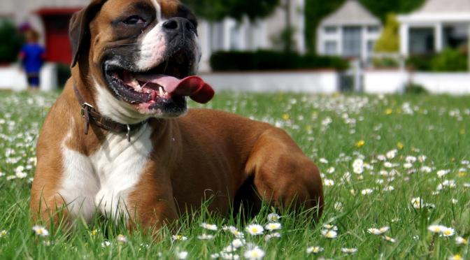 Αυξημένη θερμοκρασία του σώματος και θερμοπληξία στα σκυλιά