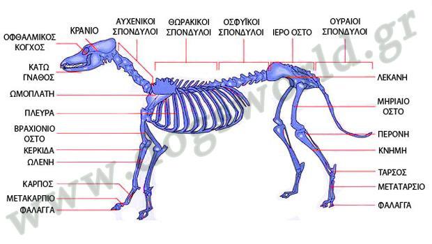Μυοσκελετικό σύστημα σκύλου
