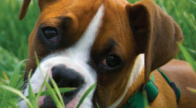 Λιπώματα στα σκυλιά – αίτια,ολιστικές θεραπείες