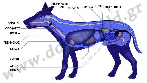 Το πεπτικό σύστημα του σκύλου