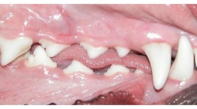 Η φλεγμονή των μαλακών ιστών στο στόμα του σκύλου