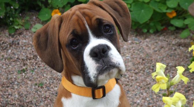 Κολπικό έκκριμα και κολπίτιδα στα σκυλιά
