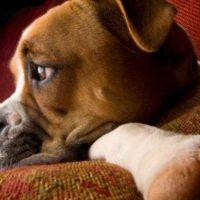 Πρήξιμο στο στομάχι του σκύλου:αίτια και θεραπεία