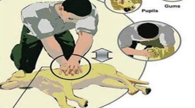 Καρδιοαναπνευστική ανάνηψη (ΚΑΡΠΑ) σε σκύλους