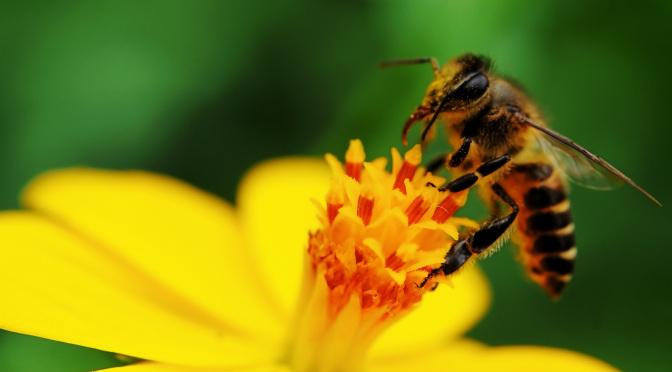 Τσιμπήματα από μέλισσες,πώς να βοηθήσετε το κατοικίδιο σας