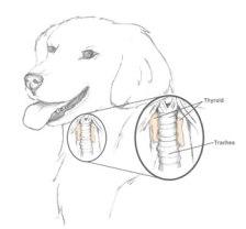 dog_thyroid_gland