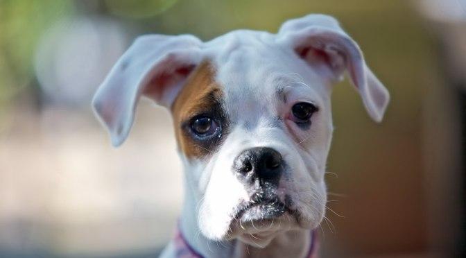 Ο βήχας στους σκύλους:αιτίες,διάγνωση και θεραπεία