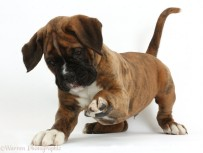 Boxer puppy, 8 weeks old, playfully raising a paw