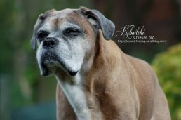 old_boxer_dog_by_kobaitchi-d4yxtlp