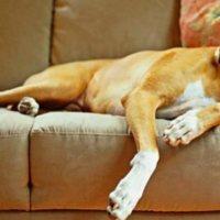 Σηψαιμία και βακτηριαιμία στα σκυλιά